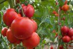 Миниатюра к статье Томат «Спрут» и урожай и эстетика