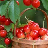 Миниатюра к статье Прежде чем посадить черешню «Юлия» — задумайтесь