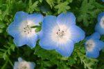 Миниатюра к статье Цветок немофила выращивание из семян