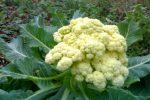 Миниатюра к статье Цветная капуста, секреты успешного выращивания