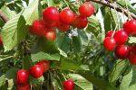 Миниатюра к статье Черешня «Фатеж» — сладкое, длинное лето