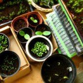 Миниатюра к статье Выращивание рассады в домашних условиях