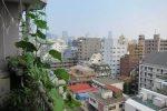 Миниатюра к статье Выращивание огурцов на подоконнике и балконе