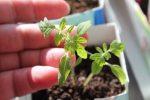 Миниатюра к статье Сроки посадки перца на рассаду в [year] году в средней полосе