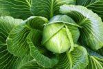 Миниатюра к статье Советы по выращиванию ранней капусты «Июньская»
