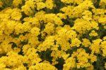 Миниатюра к статье Алиссум, посев и выращивание