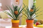 Миниатюра к статье Как вырастить ананас дома из верхушки