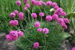 Миниатюра к статье Армерия в цветнике, особенности выращивания