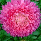 Миниатюра к статье Астры. Выращивание из семян. Когда сажать?