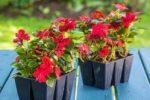 Миниатюра к статье Посевы цветов в согласии с Луной