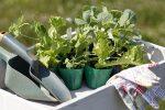 Миниатюра к статье Благоприятные дни для посадки цветной капусты на рассаду