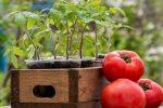 Миниатюра к статье Посадите помидоры правильно