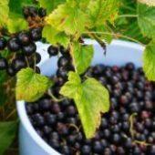 Миниатюра к статье Чёрная смородина — характеристика крупноплодных сортов