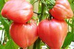 Миниатюра к статье «Воловье сердце» — томат для позднего салата