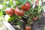 Миниатюра к статье «Черный принц» томаты - выращивание и уход в открытом грунте.