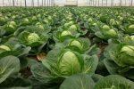 Миниатюра к статье Грамотный посев капусты — основа урожая