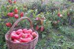 Миниатюра к статье Выращивание перца по «ленивой» технологии