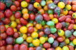 Миниатюра к статье Сорта томатов сибирской селекции на [year] год