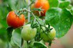 Миниатюра к статье Подкормки и удобрение помидор открытого грунта, подготовка семян к посеву
