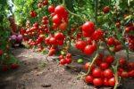 Миниатюра к статье Низкорослые томаты для открытого грунта