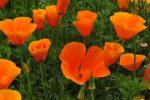 Миниатюра к статье Посейте эшшольцию — нарисуйте цветочный ковёр