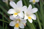 Миниатюра к статье Прекрасная фрезия в цветнике, посадка и выращивание