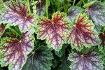 Миниатюра к статье Гейхера: выращивание из семян
