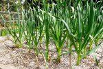 Миниатюра к статье Весенний уход за чесноком, профилактика пожелтения листьев