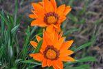 Миниатюра к статье Гацания — от семечка до цветка
