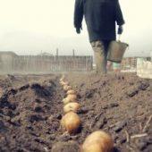 Миниатюра к статье Как правильно сажать картошку, чтобы получить хороший урожай.