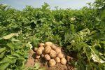 Миниатюра к статье Как вырастить картофель из семян?