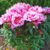 Миниатюра к статье Годеция, выращивание и уход