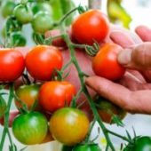 Миниатюра к статье Лучшие томаты для Ростовской области