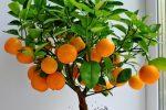 Миниатюра к статье Как вырастить мандарин из косточки в домашних условиях