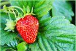 Миниатюра к статье Как правильно посадить клубнику?
