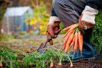 Миниатюра к статье Правила уборки и хранения моркови