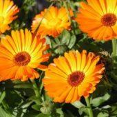 Миниатюра к статье Календула. Выращивание из семян в открытом грунте