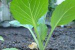Миниатюра к статье Посадка капусты на рассаду