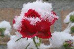 Миниатюра к статье Когда укрывать розы на зиму в Подмосковье?