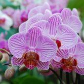 Миниатюра к статье Размножение орхидей в домашних условиях
