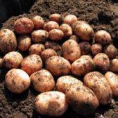 Миниатюра к статье Картофель «Аврора» — сорт молодой и вкусный
