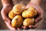 Миниатюра к статье Картофель «Венета» —для жаркого климата