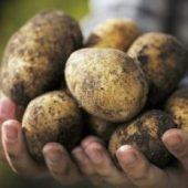 Миниатюра к статье Картофель супер урожайный и супер вкусный — сорт «Голубизна»