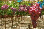 Миниатюра к статье Виноград «Кишмиш» и его разновидности