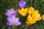 Миниатюра к статье Крокусы в весеннем саду