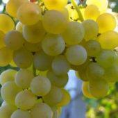 Миниатюра к статье Виноград «Кристалл» — идеален для игристого вина