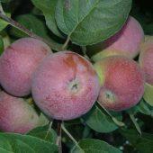 Миниатюра к статье Сказочная яблоня «Лобо»