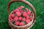 Миниатюра к статье Малина красная и крупноплодная — сорт «Гордость России»