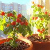 Миниатюра к статье Зимний томатный огород