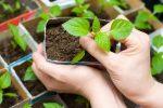 Миниатюра к статье Вредители рассады томатов и методы борьбы с ними